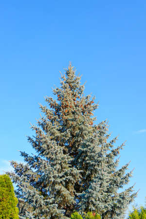 Blue spruce (Picea pungens) standing alone, blue sky background, with cones