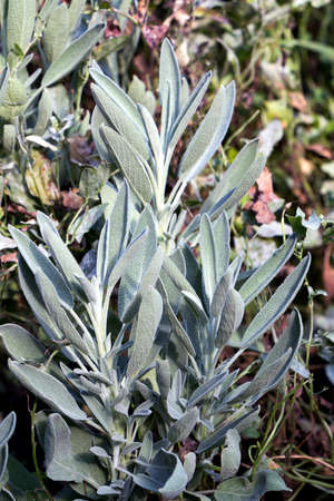 Pale green sage plant leaves in the garden Stockfoto