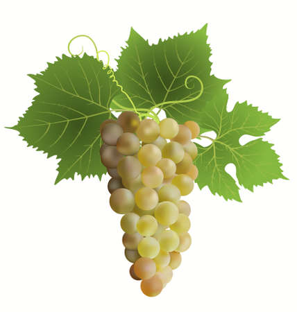 white grape Stock Vector - 7730093