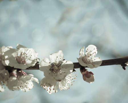 sakura bloemen