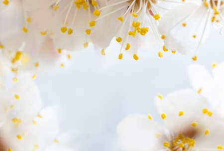cherry little and simple flowers in spring photo