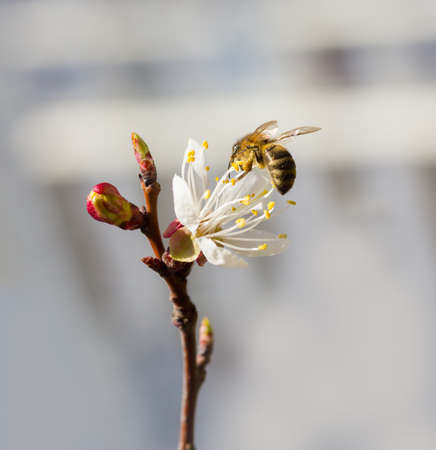 bee in blossoming cherry tree photo