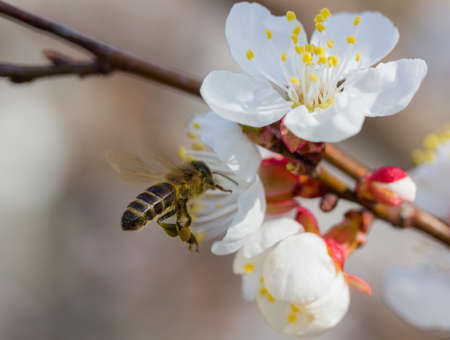 hovering: bee in blossoming cherry tree Stock Photo