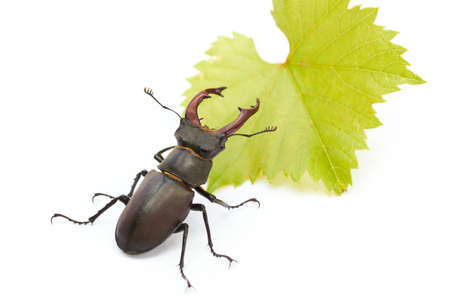stag beetle close-up on white photo