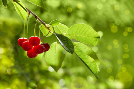 ripe cherries as natural food background photo