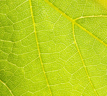 grapevine leaf macro as background  photo
