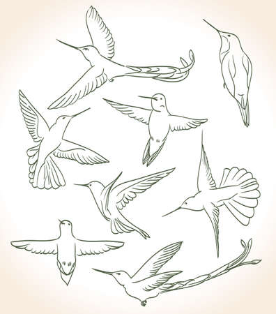 colibri drawing in line art style Vector