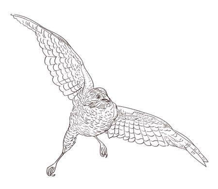 schetstekening van vliegende valk
