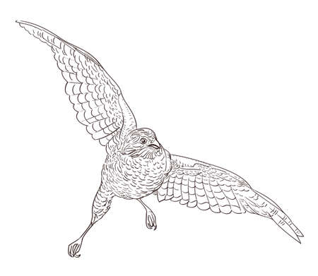 falco peregrinus: sketch drawing of flying falcon
