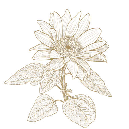 sunflower drawing: sunflower monochrome drawing on white Illustration