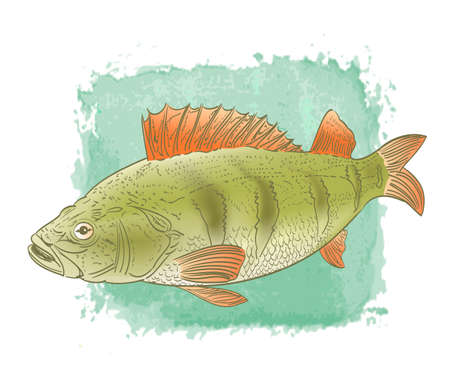 spawning: freshwater fish color drawing on watercolor background