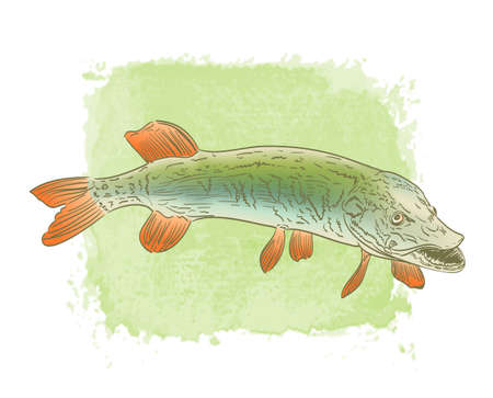 spawning: freshwater pike fish color drawing on watercolor background