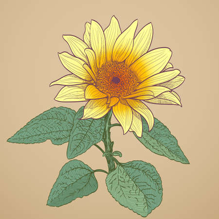 sunflower drawing: sunflower drawing