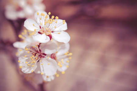 apricot tree: apricot tree flowers close up background