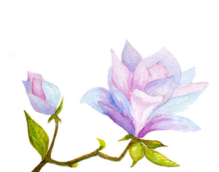 magnolia tree: watercolor hand painted magnolia flower and bud on white Stock Photo