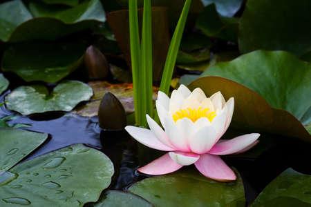 oriental medicine: lotus flower on the pond water. water lily blooming