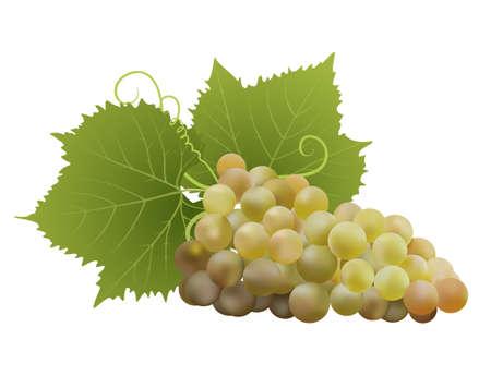 uvas: uvas blancas con las hojas en blanco. ilustración vectorial