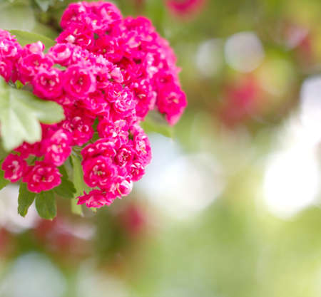 pink tree flowers in spring background Stock Photo