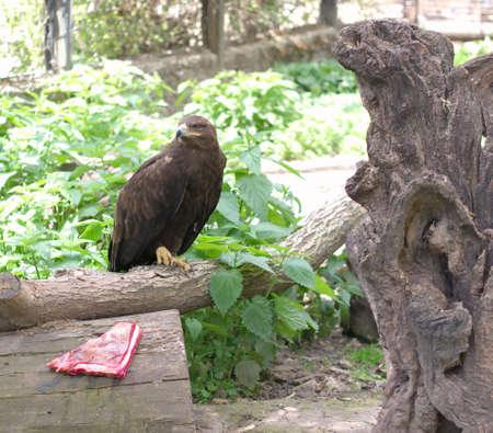 동물원에 고기가있는 나뭇 가지에 앉아있는 독수리 스톡 콘텐츠