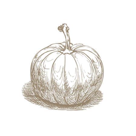 hand drawn pumpkin on white. vector