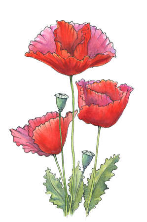 watercolor and ink poppies drawing on white. hand-drawn illustration