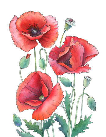 watercolor and ink drawing of red poppies on white