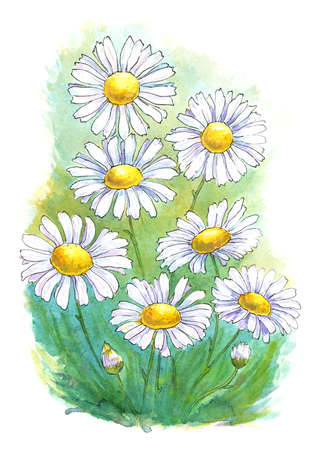 watercolor and ink drawing of daisies, summer illustration Stock Photo