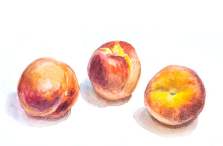 watercolor peaches on white. hand drawn illustration