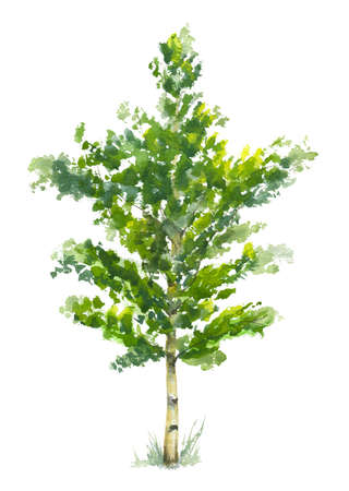 watercolor illustration of little birch tree on white