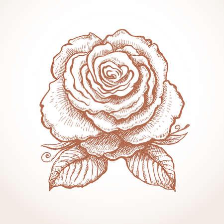 Engraved english beautiful rose. Vector illustration