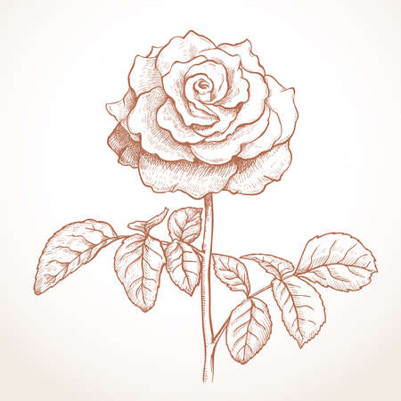 rose with leaves drawing brown tint. vector