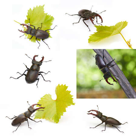set of stag beetles on white with leaf