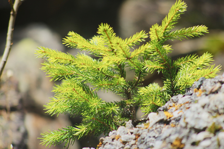 Young fir tree in the Alps