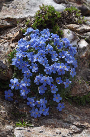 crampon: Alpine cushion of Eritrichium nanum. It is a circumpolar plant That grows on acid rocks, at elevations of 3000 meters. in the North American Rocky mountains and in the European Alps. Stock Photo
