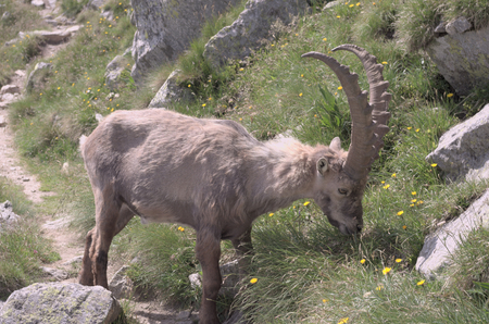 s horn: Alpine ibex Capra ibex Alpine ibex eating grass .. Alpine ibex Lat. Capra ibex is a wild species of wild goat That lives in the mountains of the European Alps.