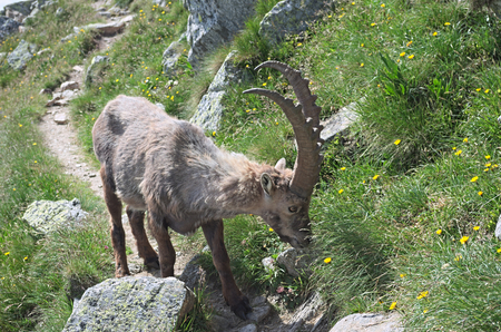 wild goat: Steinbock Capra ibex Alpine ibex eating grass .. Alpine ibex Lat. Capra ibex is a wild species of wild goat That lives in the mountains of the European Alps. Stock Photo