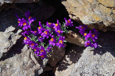 treck: Flowers of Linaria alpina. It is a circumpolar plant That grow at high elevations in the Alps. Stock Photo