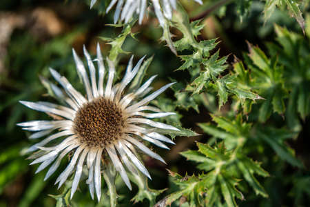closeup of a thistle and its thorny leaves 写真素材