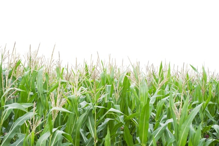 corn flower: Cornfield isolated on white background