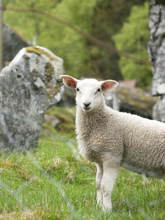 pasen schaap: portret van een jong lam