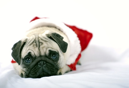 Lying Puppy with Santa Claus dress  photo
