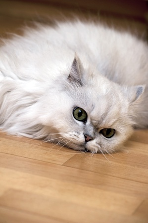 Persian cat relaxing on the floor Stock Photo - 10492337