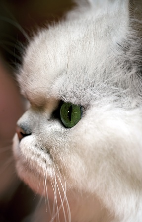 fluffy ears: Closeup portrait of a white persian cat with green eyes