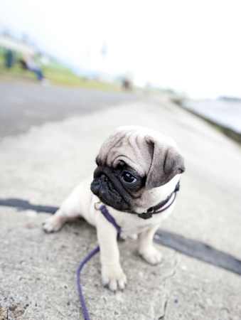 pug nose: Let me not alone  Stock Photo