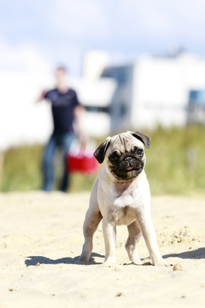 dogie: Pug puppy standing on sand, looking at the camera in watchful pose, shallow depth of field Stock Photo
