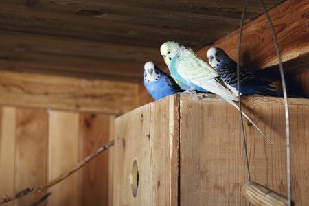 aviary: Pet budgerigars in aviary