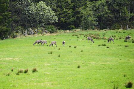 Eurasian roe deer grazing in field photo