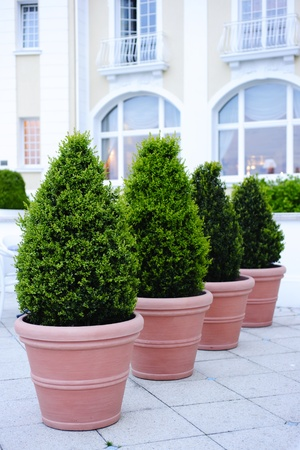 coniferous tree: Ornamental potted trees