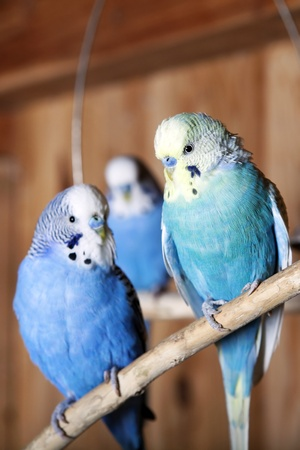 aviary: Blue budgie is sitting on a branch in an aviary