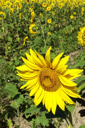 Closeup of a cheerful yellow sunflower head in an agricultural field used for oil,seeds,and silage photo